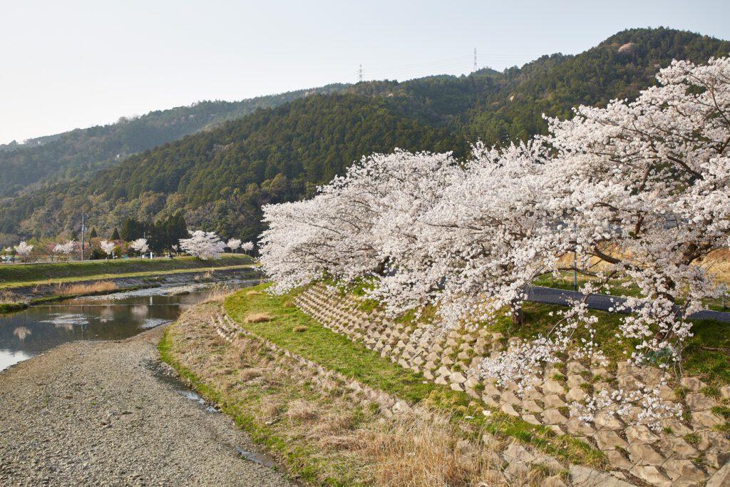 やすらぎの道:桜3