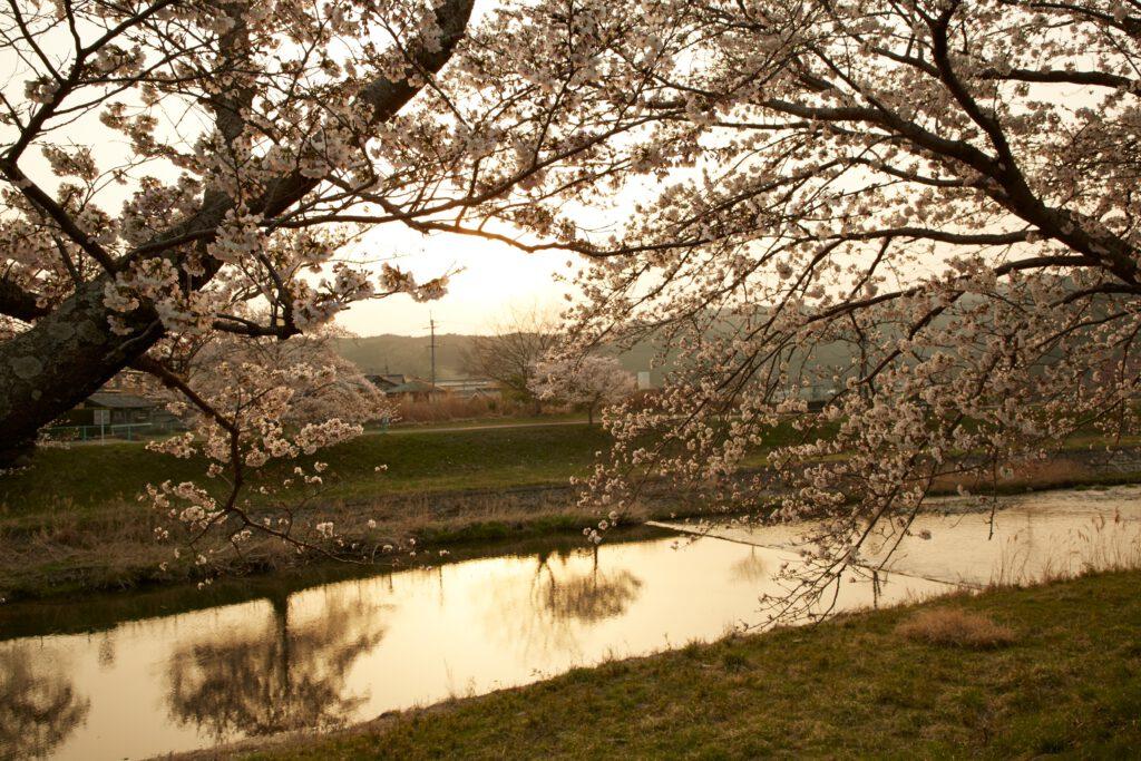 やすらぎの道:桜4