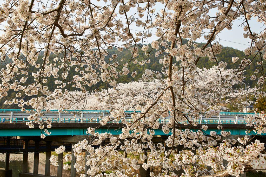 Yasuragi Path: Cherry Blossoms 8