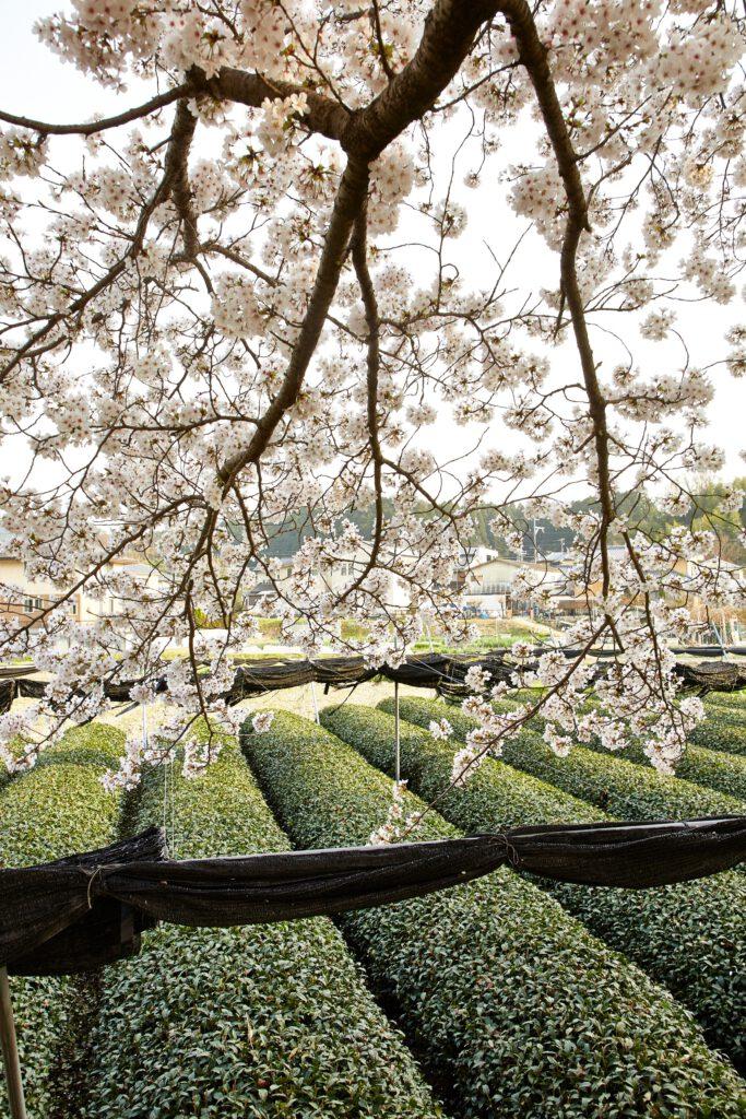 やすらぎの道:桜7