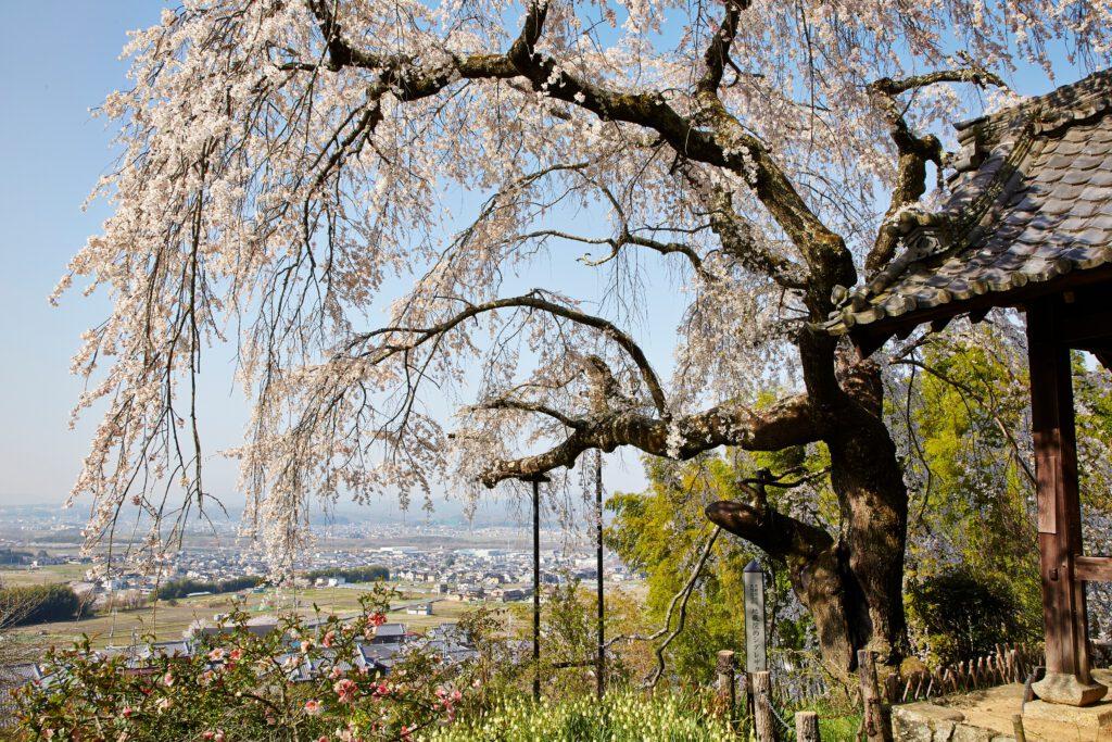 地蔵禅院:桜2