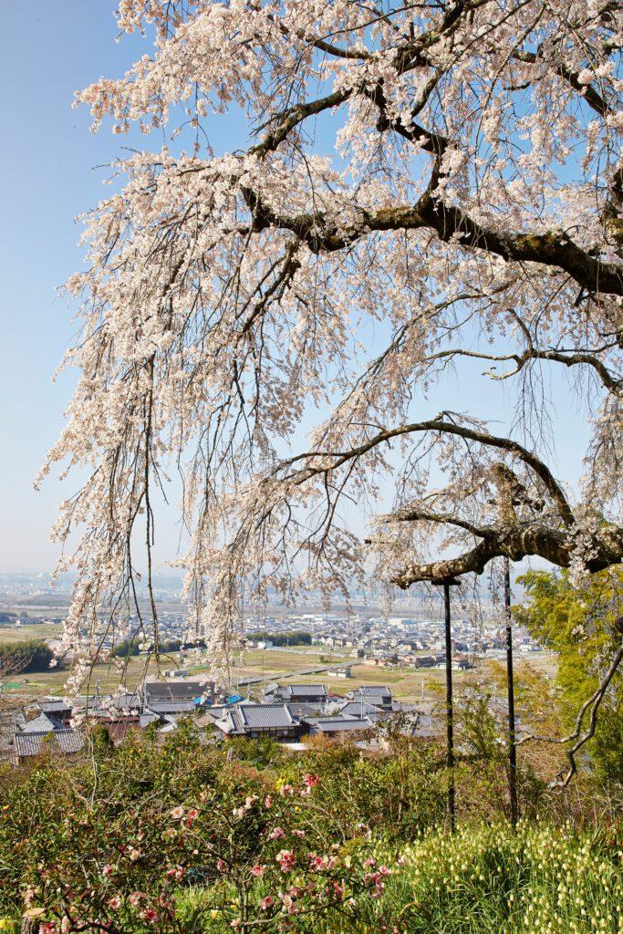 地蔵禅院:桜3