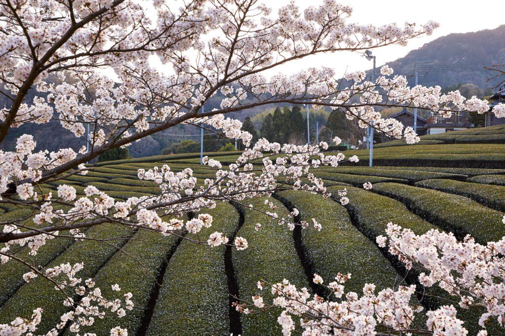 石寺の茶畑:桜1