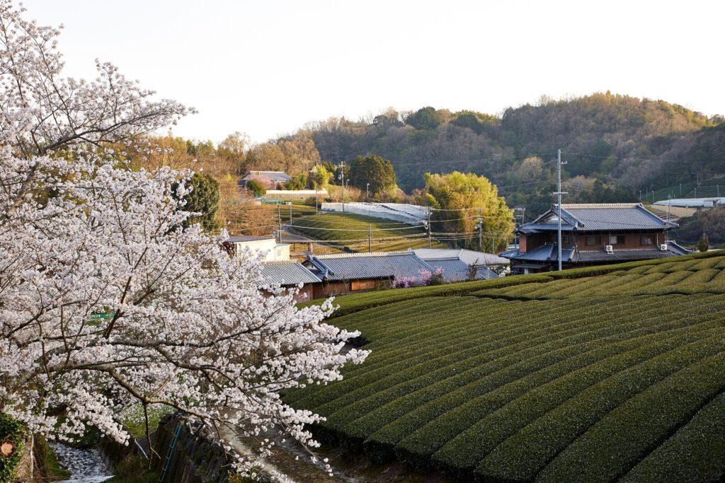石寺の茶畑:桜2