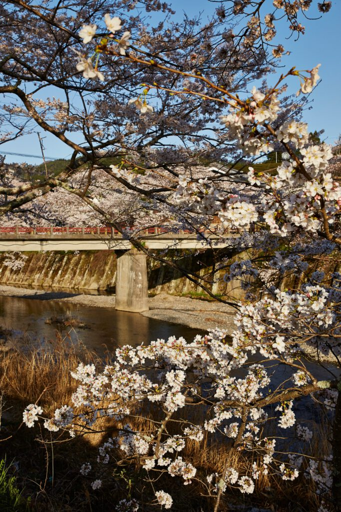 Iwai-bashi Bridge: Cherry Blossoms 2