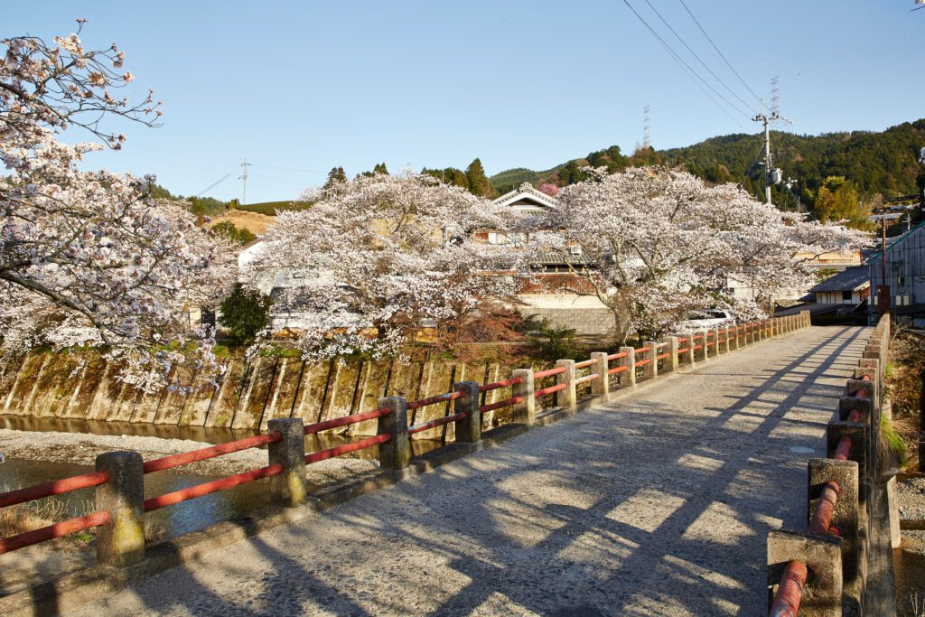 Iwai-bashi Bridge: Cherry Blossoms 4