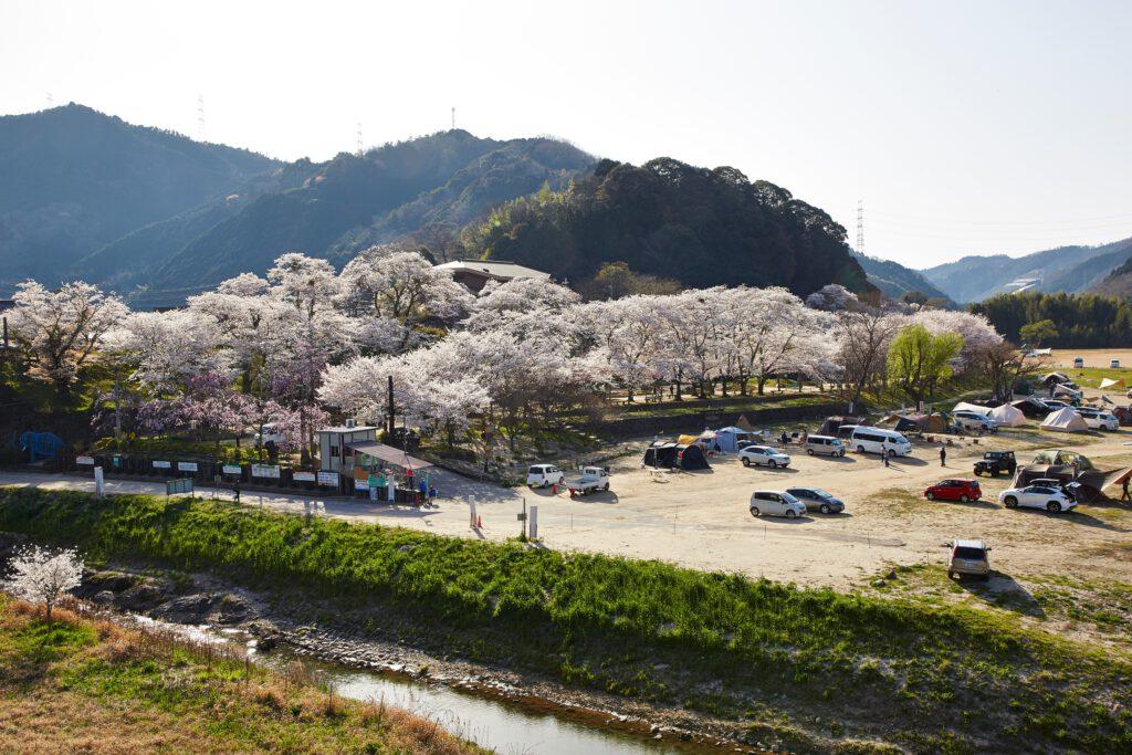笠置キャンプ場:桜1