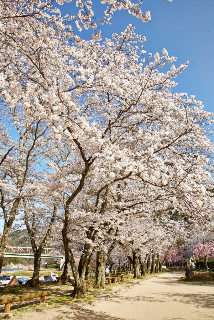 笠置キャンプ場:桜2