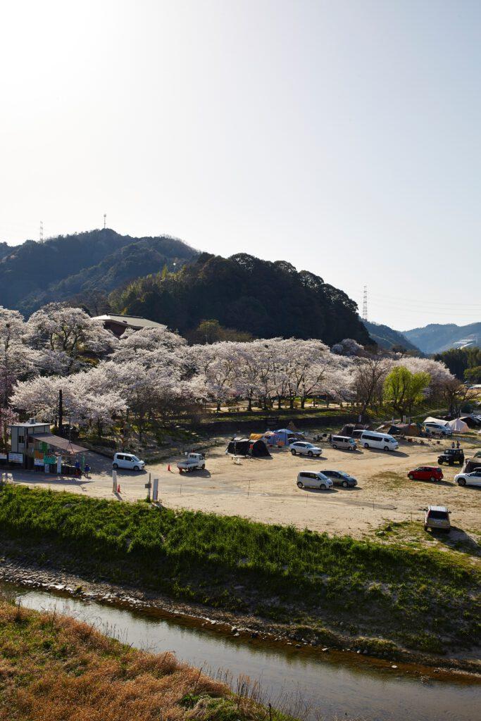 笠置キャンプ場:桜3