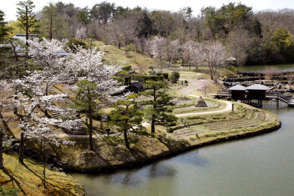 けいはんな記念公園:桜1