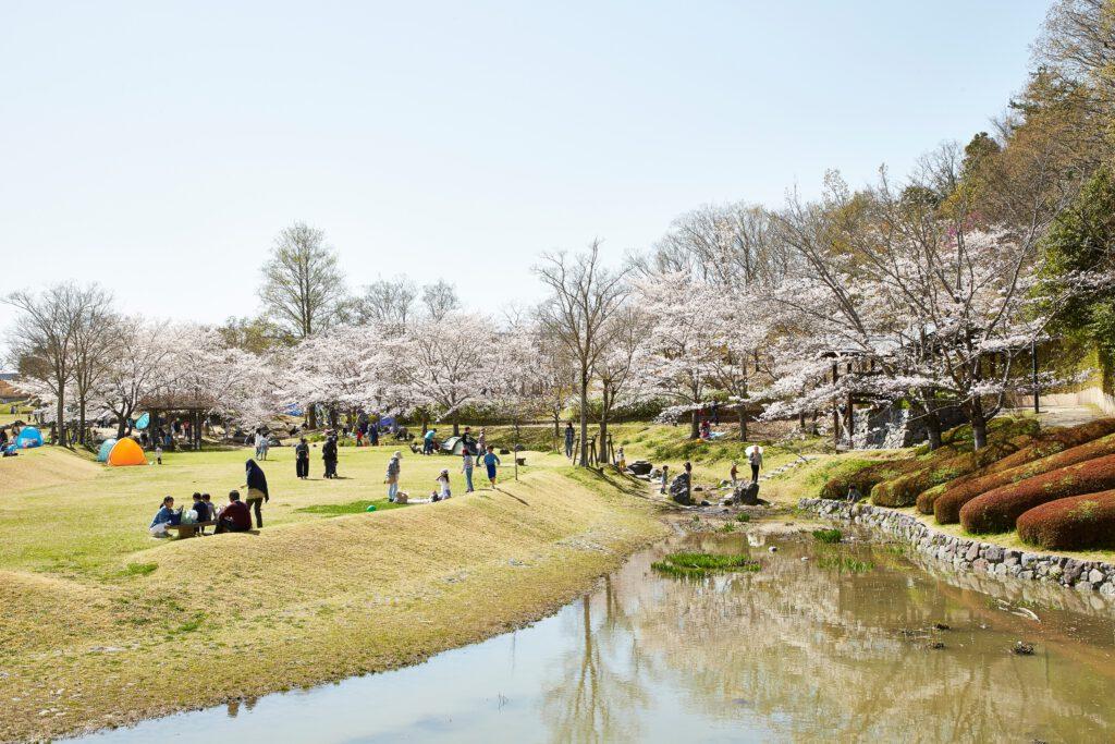 けいはんな記念公園:桜2
