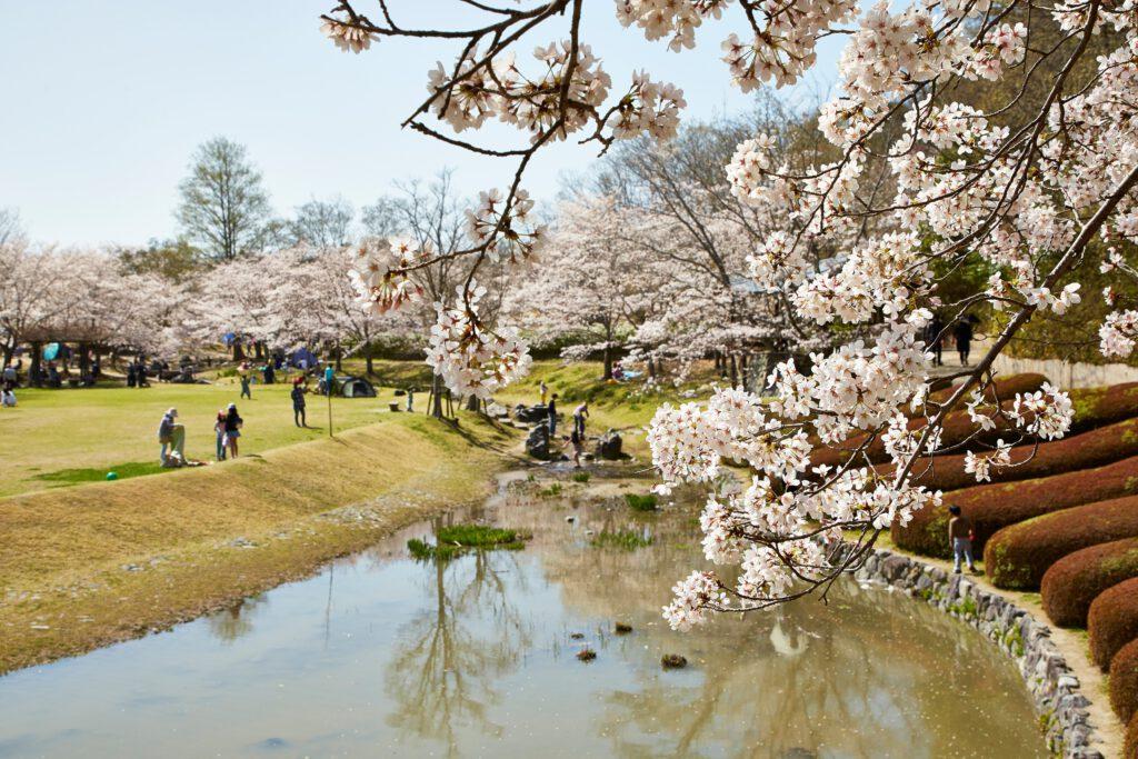 けいはんな記念公園:桜3