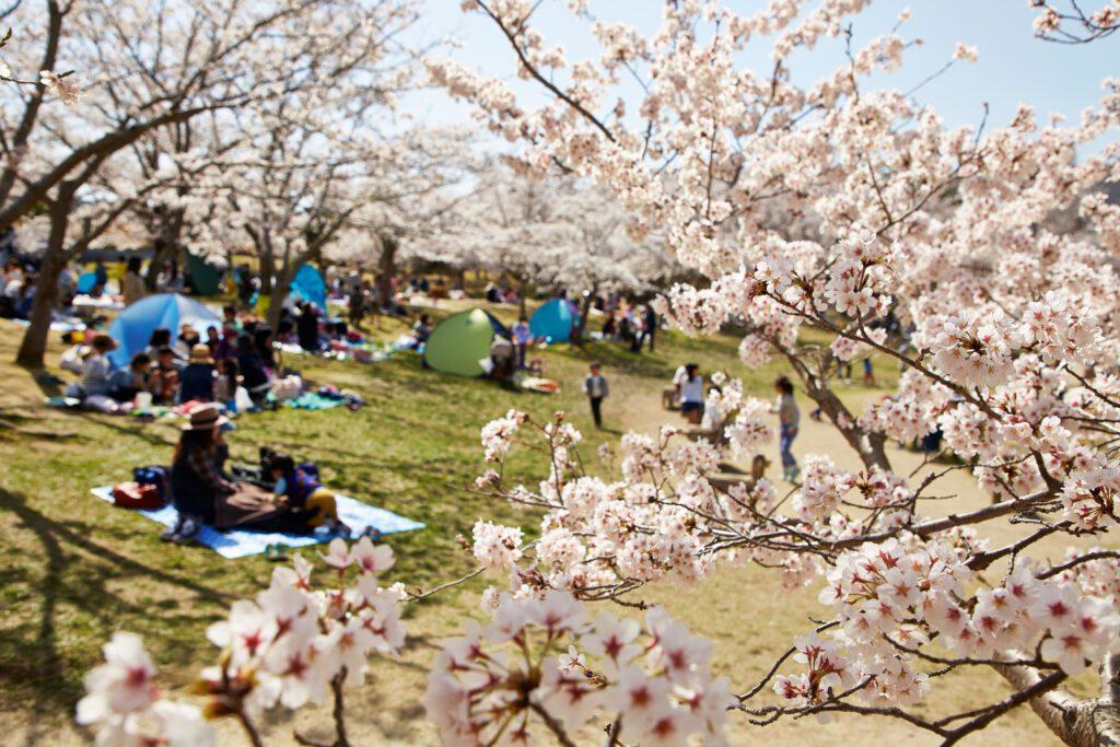 けいはんな記念公園:桜7