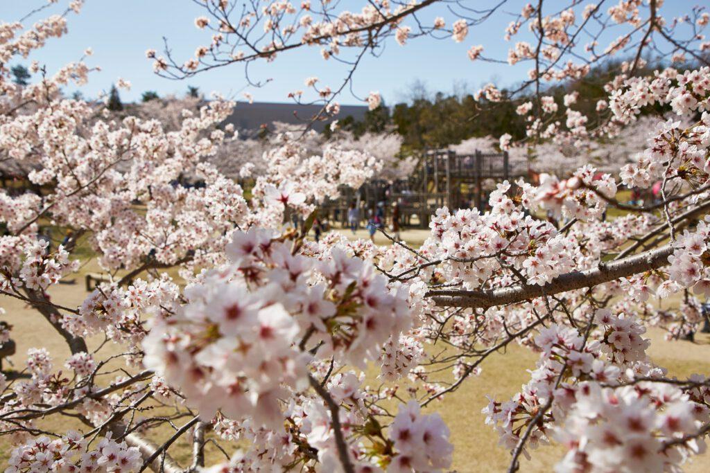 けいはんな記念公園:桜4