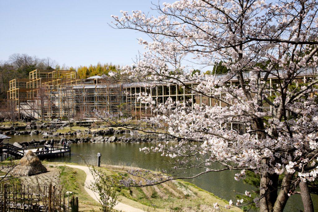 けいはんな記念公園:桜6