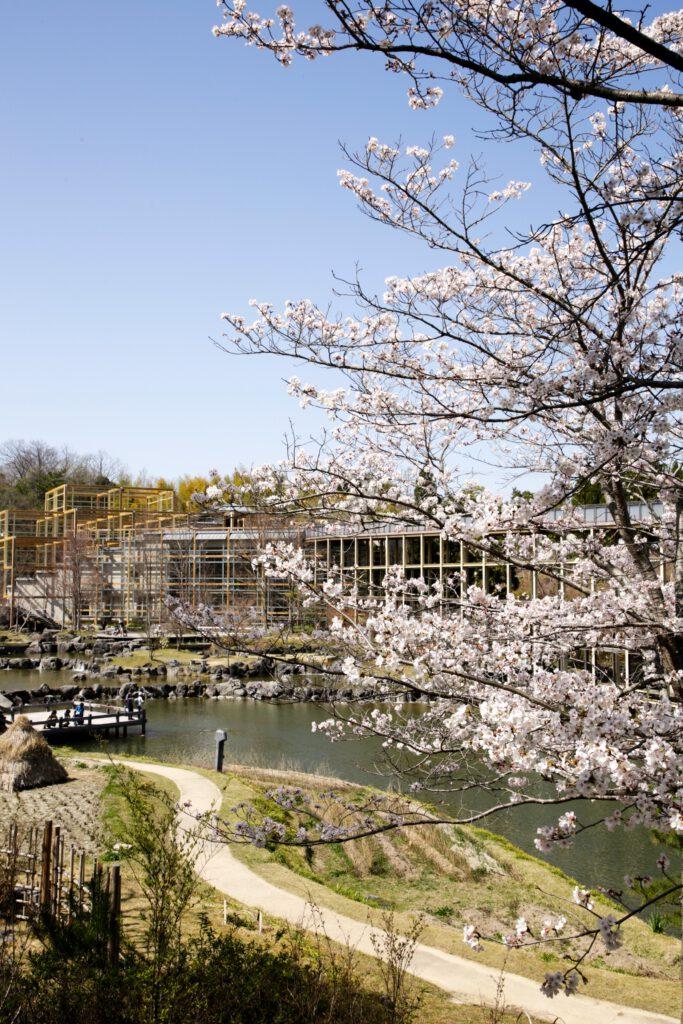 けいはんな記念公園:桜5