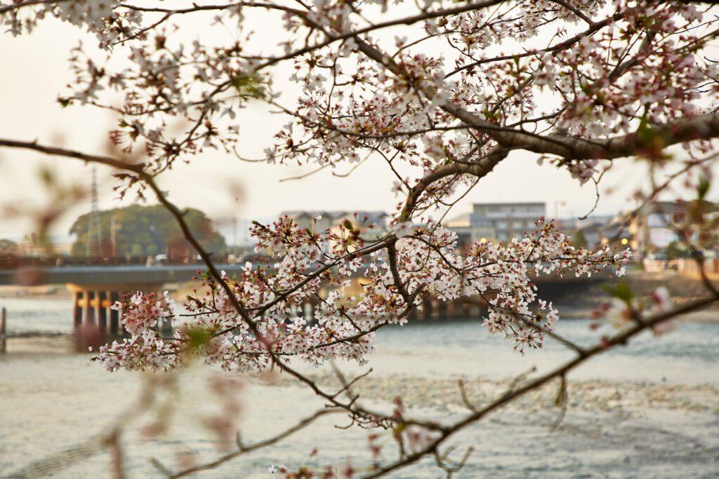 宇治川:桜1