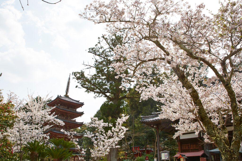 海住山寺:桜1