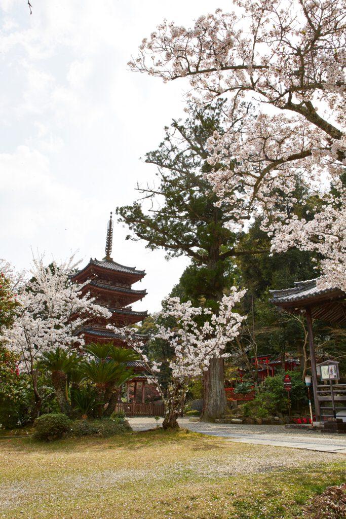 海住山寺:桜2
