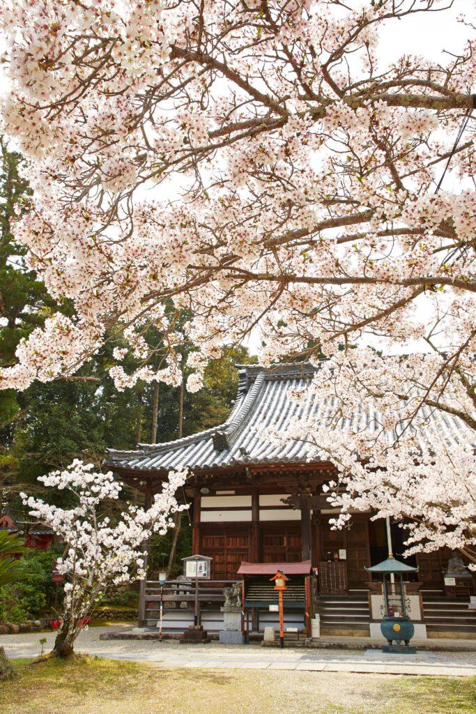 海住山寺:桜4