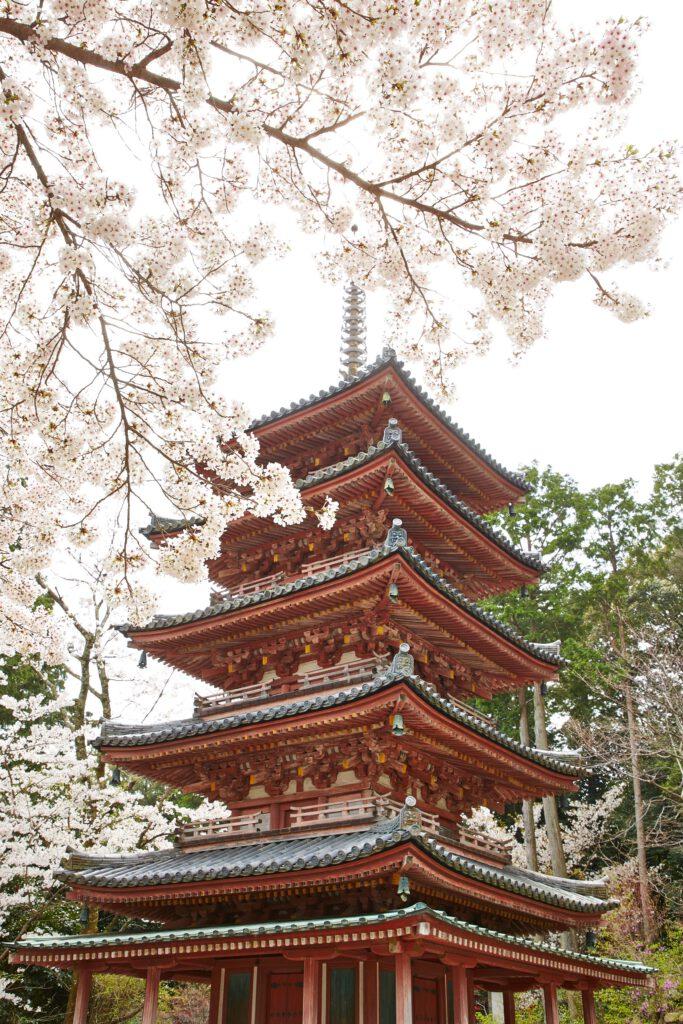 海住山寺:桜5