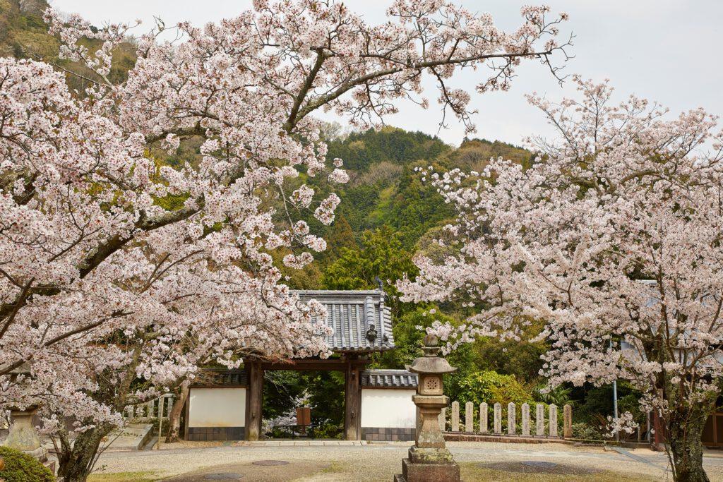 海住山寺:桜6