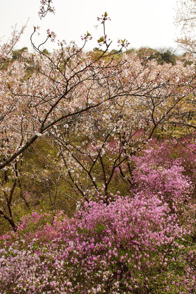 鴻ノ巣山散策道:桜3