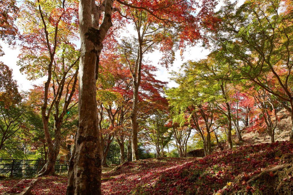 京都府立笠置山自然公園(もみじ公園):紅葉3