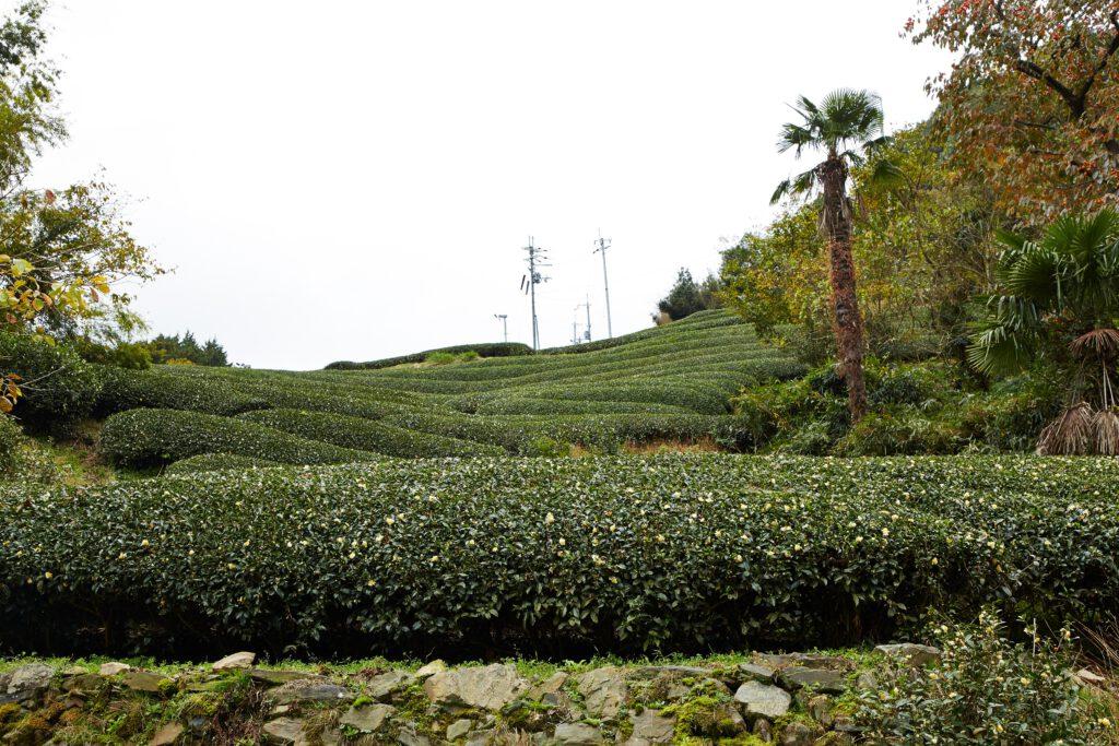 釜塚の茶畑1
