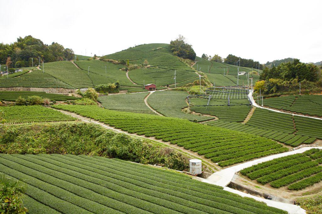 石寺の茶畑1