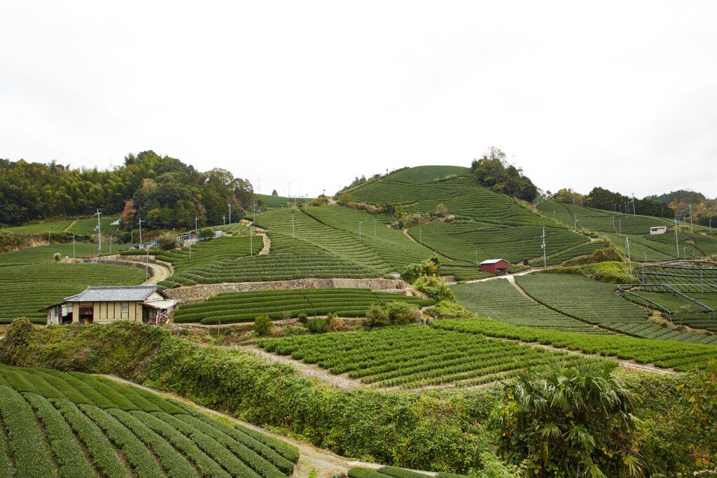 石寺の茶畑3
