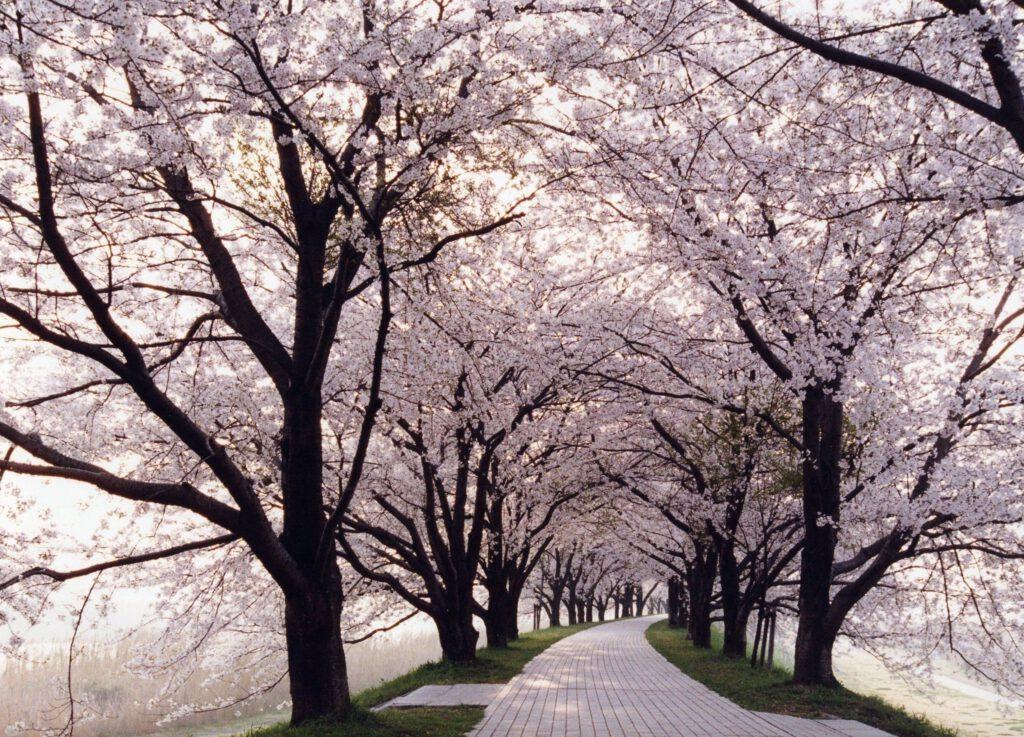 背割堤桜(内部)