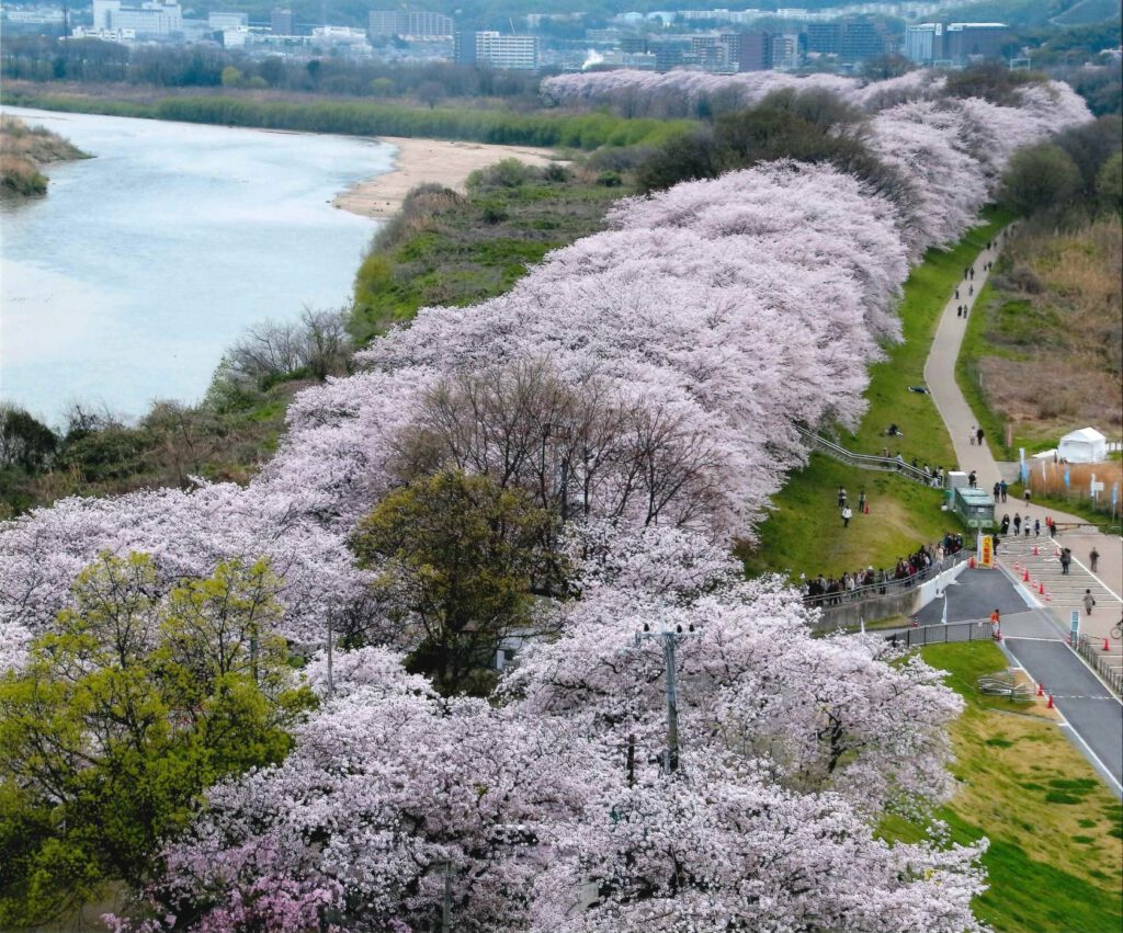 背割堤桜(さくらであい館展望塔から)
