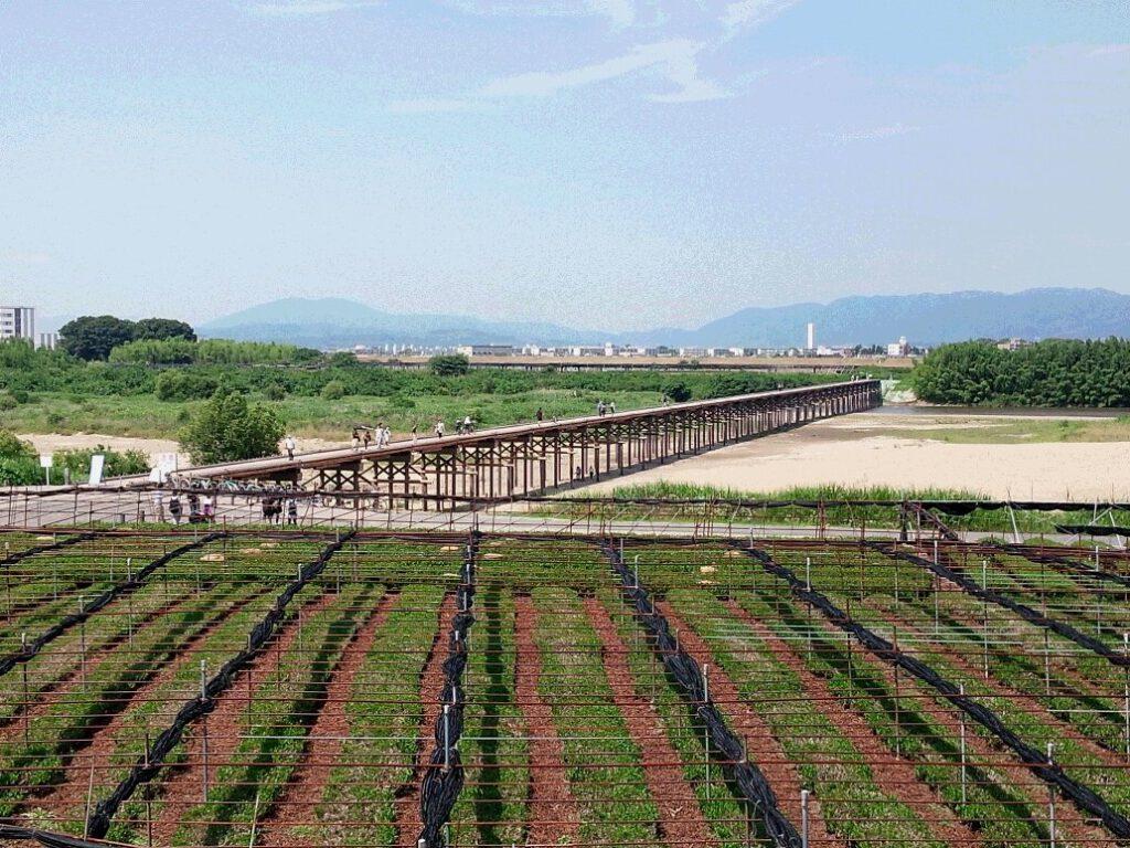 流れ橋と茶畑②