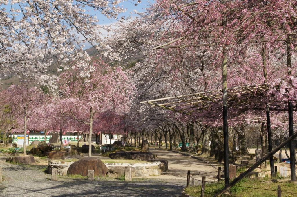Cherry Blossoms on the Kizugawa Riverbanks 2