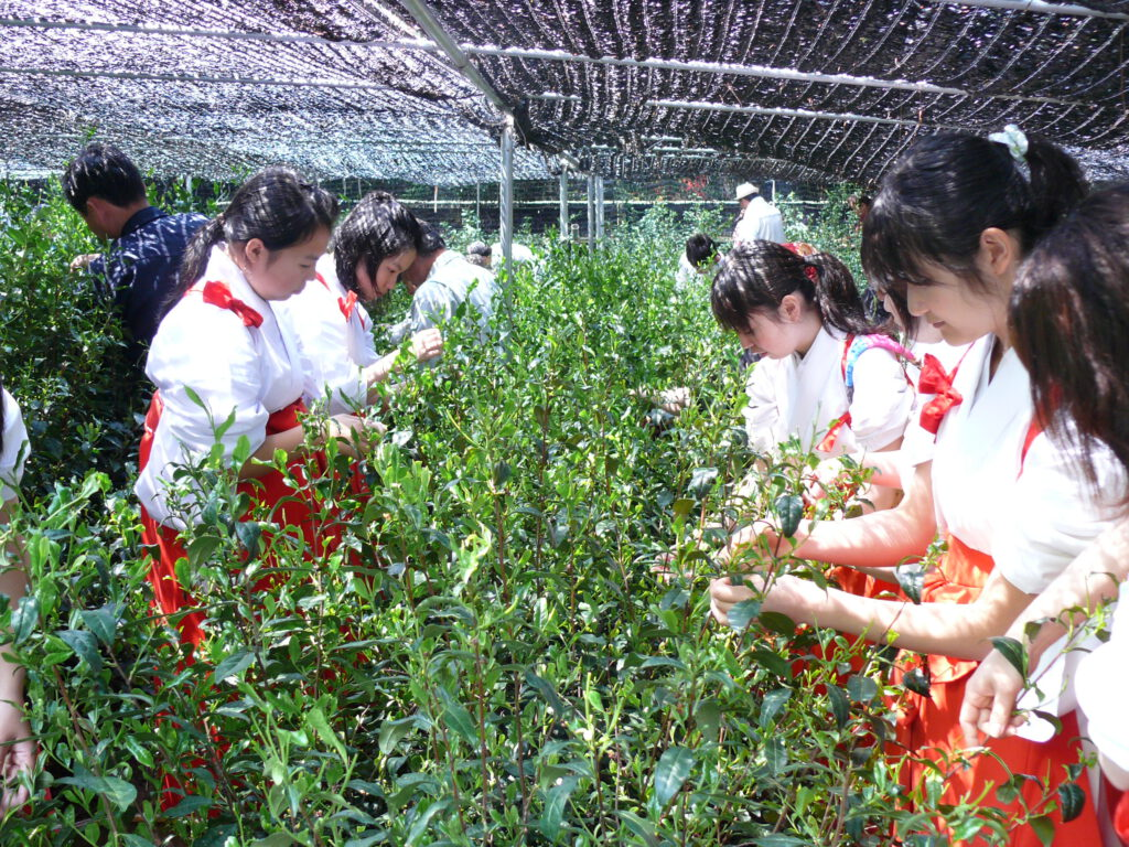 雄徳山(おとこやま)茶園茶摘み