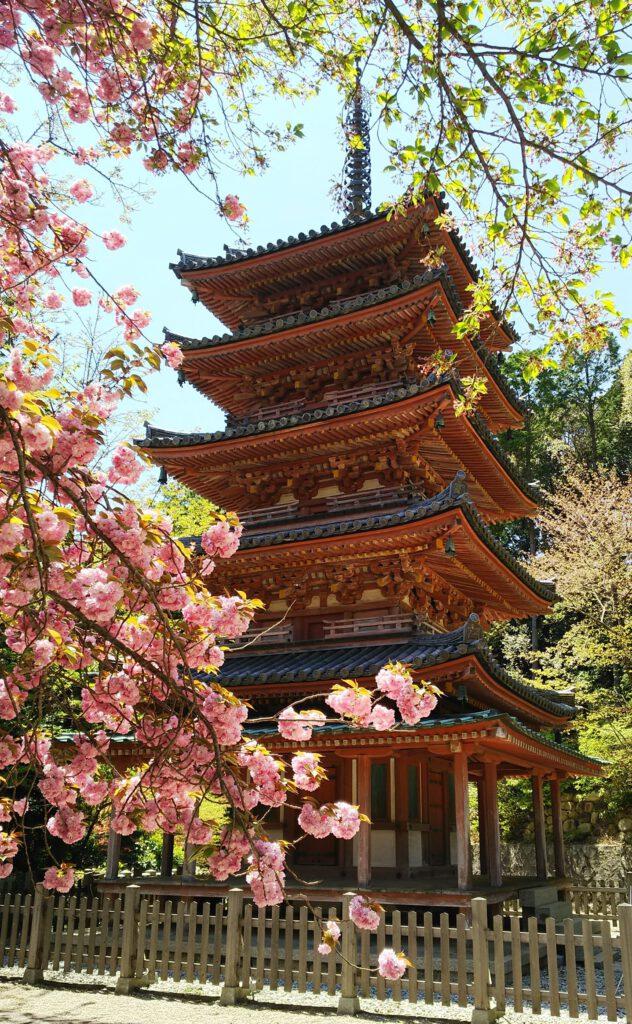 海住山寺:五重塔と八重桜