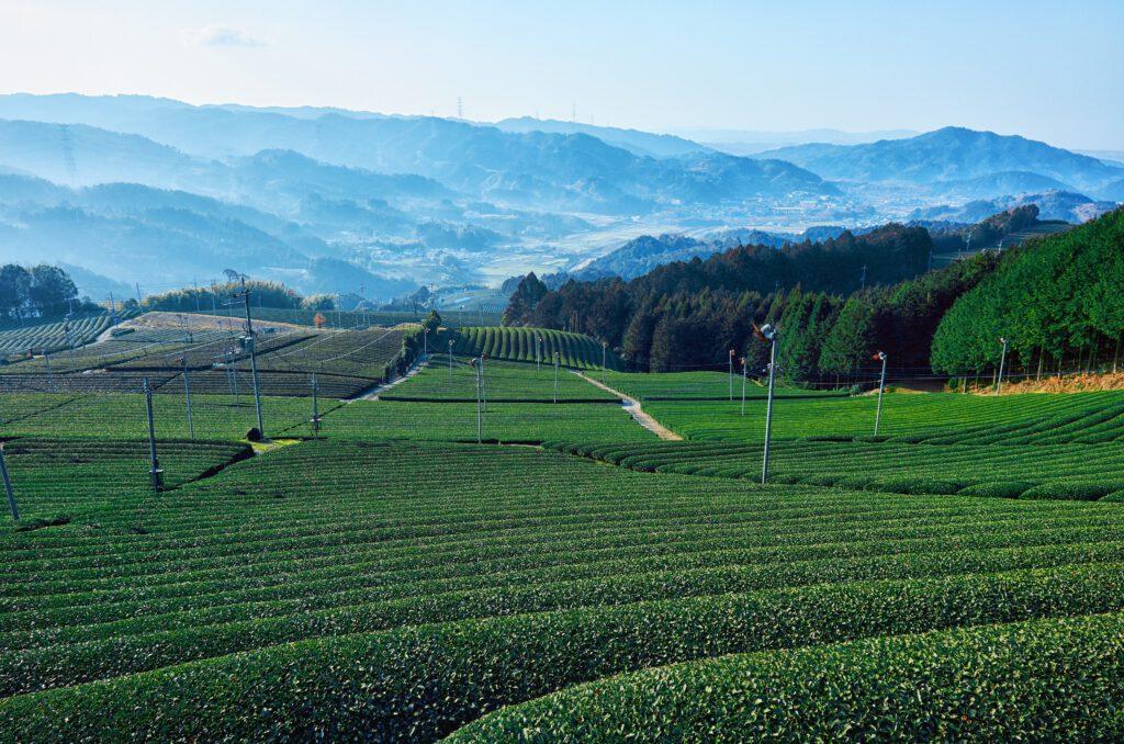 原山の茶畑2