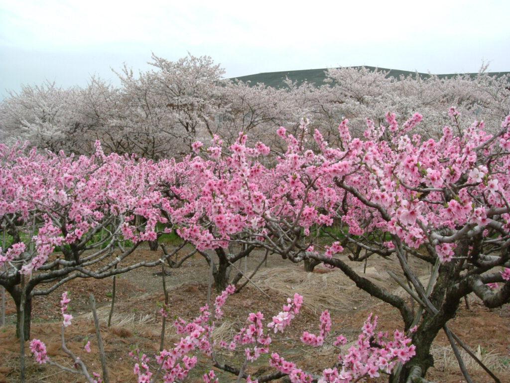 大住の桃林