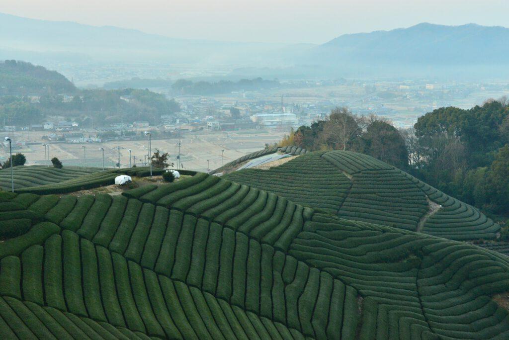朝もやの茶畑:加茂町瓶原地域
