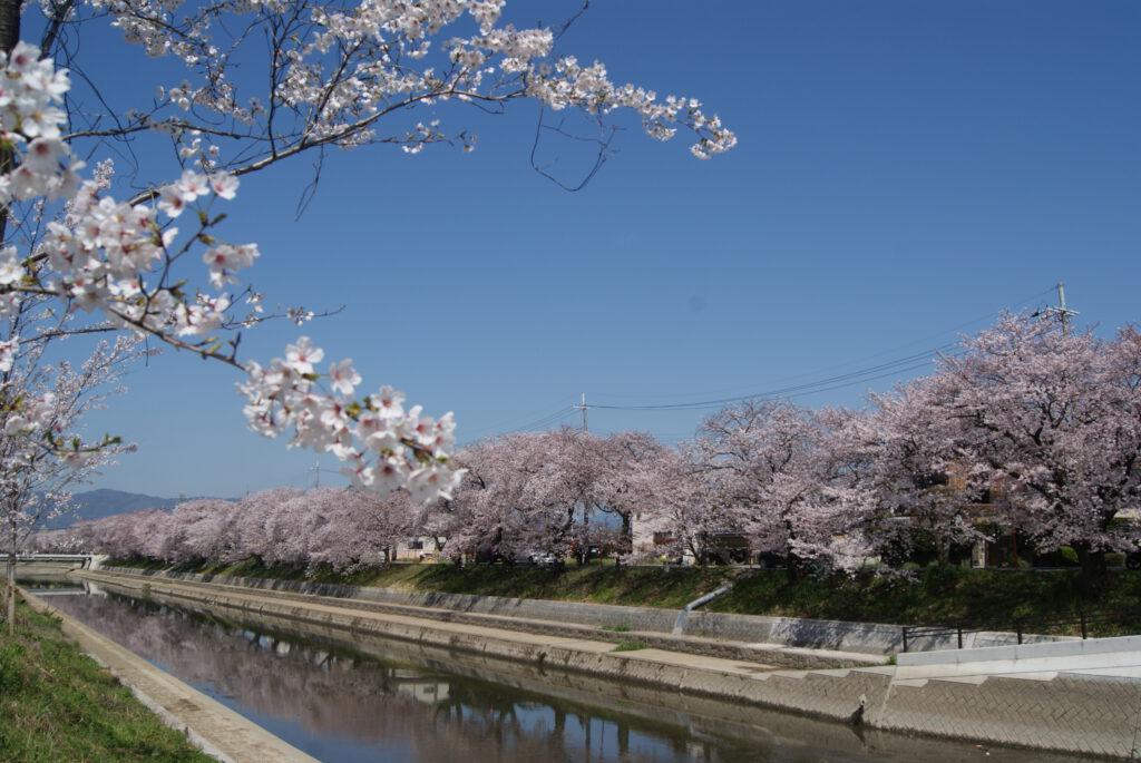 前川の桜並木