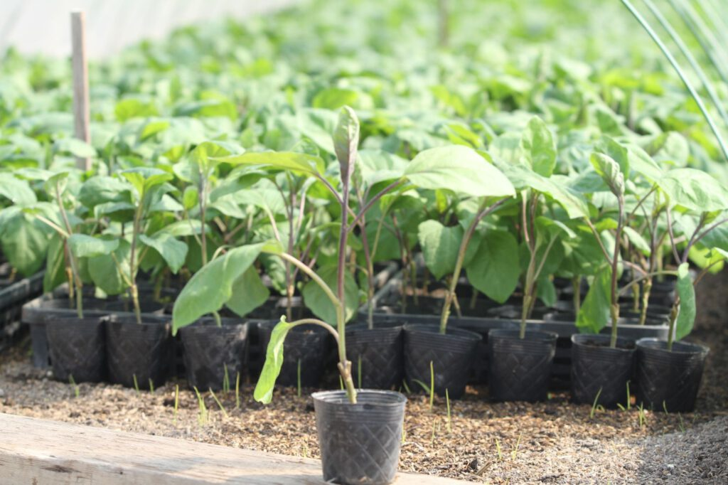 Yodo Seedlings 1