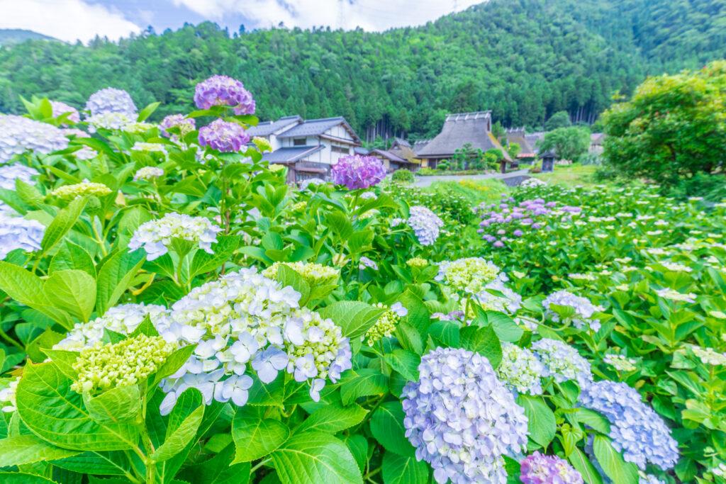 美山かやぶきの里:紫陽花